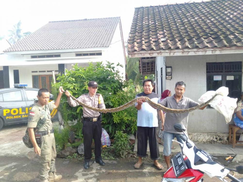 Bripka Yayan Tunjukan Adanya Temuan Ular 'Sanca' Sepanjang 3 Meter