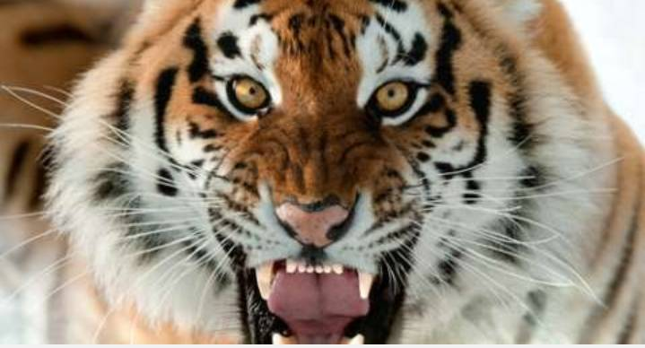 Dua Harimau Hilang,Menewas kan Seorang Pawang