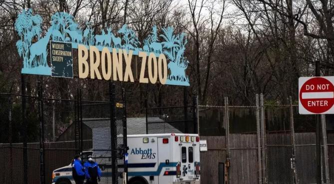 Harimau Positif Virus Corona di New York, Kebun Binatang Bronx Sudah Membaik