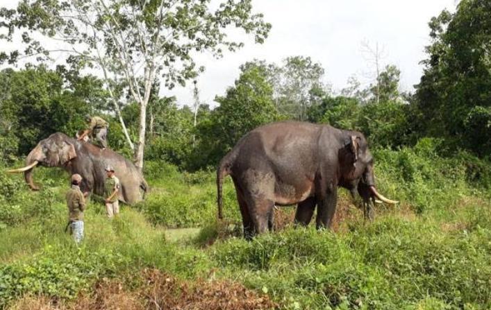 2 Ekor Gajah Latih Kelelahan Hadapi Gajah Liar di Inhu Riau