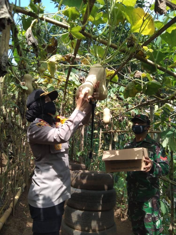 Kapolres Banjar Panen Sayuran di Kebun KWT