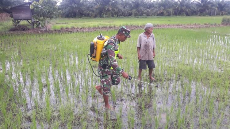 Cegah Serangan Hama,Babinsa Koramil 05/Rupat Bantu Petani Semprot Padi