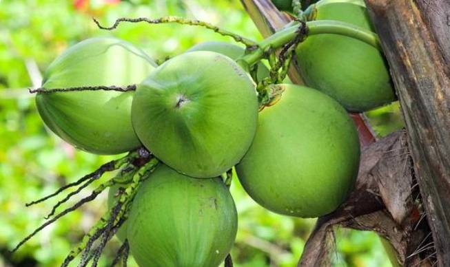 Benarkah Campuran Air Kelapa Muda, Jeruk Nipis, dan Garam Ampuh Basmi COVID-19 dalam 1 Jam? Cek Faktanya