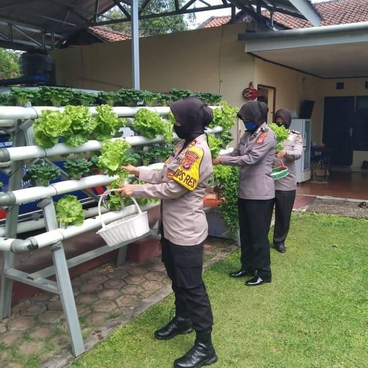 Kapolres Banjar Panen Sayuran Dengan Teknik Hidroponik