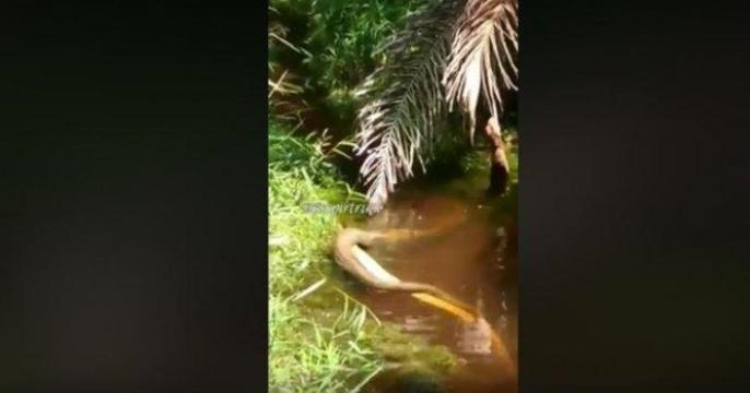Detik-detik Menegangkan Seorang Pria Sambil Ketakutan Tangkap King Kobra yang Melawan