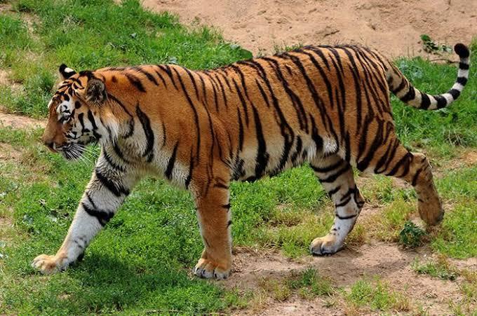 Kembali Terjadi Harimau Menyerang Manusia di Pelangiran