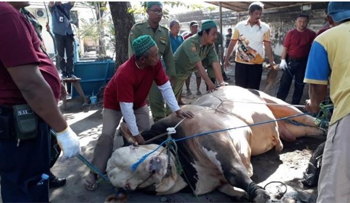 Sapi Kurban Dari Presiden Joko Widodo Seberat 1,4 ton Sempat Memberontak