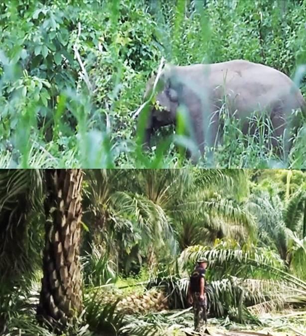 Gedubraakkk! Dalam Sekejap Ratusan Pohon Sawit Bertumbangan Dihantam Gajah Liar
