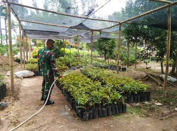 Babinsa Koramil 11/Birem Bayeun Upayakan agar Petani Buah bisa Capai Hasil Maksimal