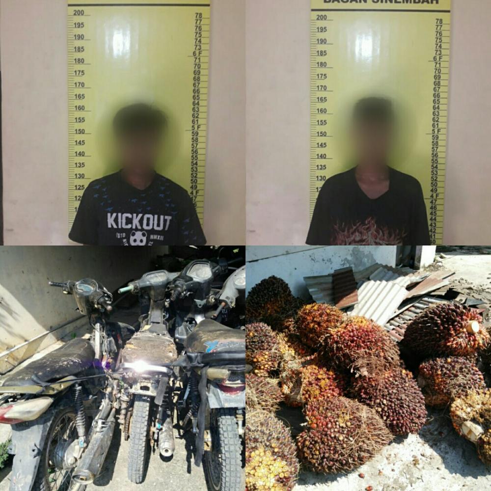 Curi Buah Sawit PT Salim Ivomas Pratama, 2 Remaja di Rohil ini Diamankan Polisi
