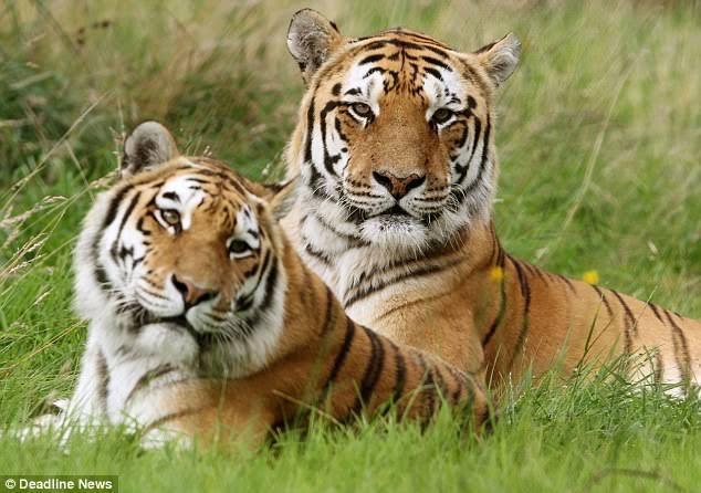Di Indragiri Hilir Dua Ekor Harimau Sumatera Keluar Dari Sarangnya,Akibat Kebakaran Lahan dan Hutan