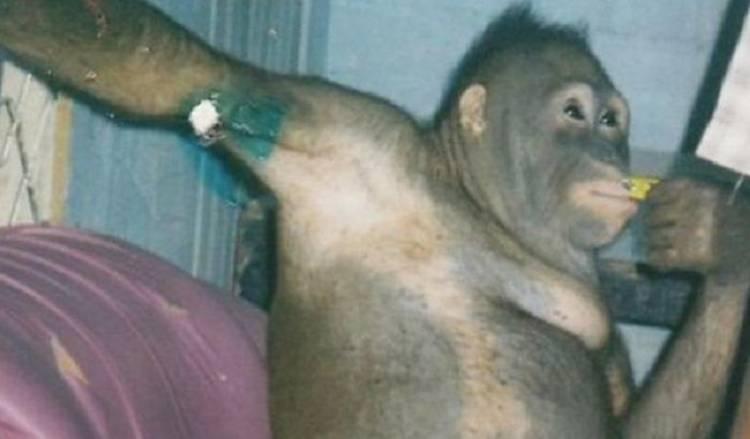 Prilaku Diluar Nalar, Orangutan Didandani dan Diberi  Parfum Lalu Dijadikan Pemuas Seks