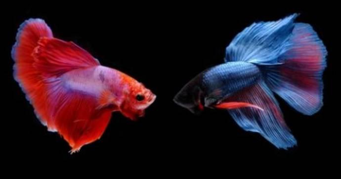 Bisnis Ikan Cupang Saat Pandemi Covid 19,Menjanjikan,Bisa Jutaan Rupiah Perekornya
