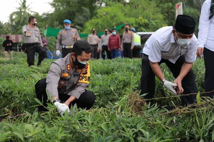 Kapolres Inhil dan Jajaran Pemerintah Lainnya Ikut Penen Ubi Jalar di Lahan KT Makmur Sejahtera