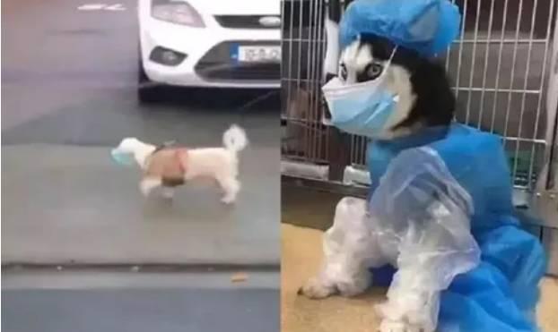 Bikin Gemes,Video Anjing ViralJalan Jalan Pakai Masker