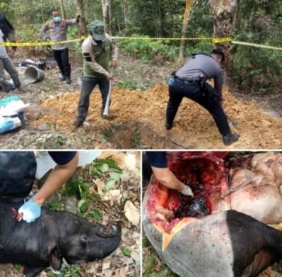Polres Kuansing Bersama Tim BKDSA Riau Lakukan Nekropsi untuk Mengetahui Sebab Kematian Seekor Tapir