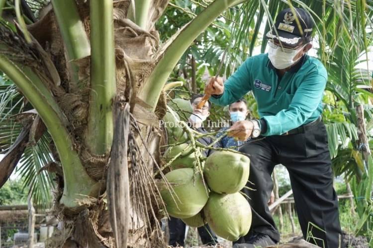 Bupati HM Wardan Panen Kelapa Pandan Wangi